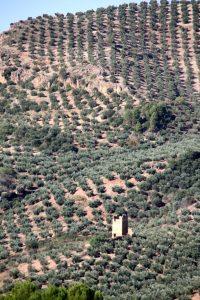 Picual Olive Trees in Sierra de Segura